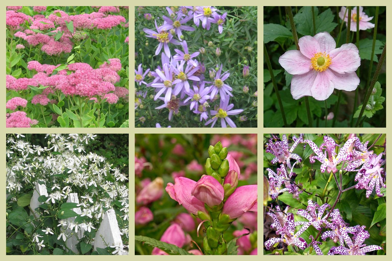 Six perennial flowers for late season color bluestone garden blog top row left to right sedum autumn joy new england aster mightylinksfo
