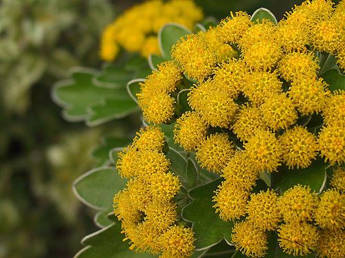 chrys pacificum flower closeup flickr