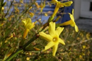 Copy of Jasminum_nudiflorum - wikimedia commons